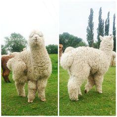 Alpacas getting their annual haircut - Purl Alpaca Designs
