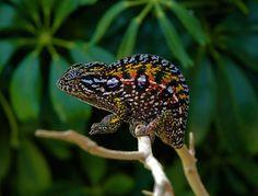 17 Best images about Chameleons! on Pinterest   Madagascar ...