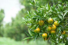 È iniziata la stagione delle clementine, le nostre sono della Piana di Sibari.