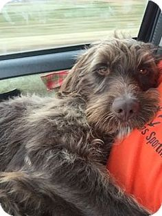 Denton, TX - Wirehaired Pointing Griffon. Meet Dominick, a dog for adoption. http://www.adoptapet.com/pet/12116777-denton-texas-wirehaired-pointing-griffon