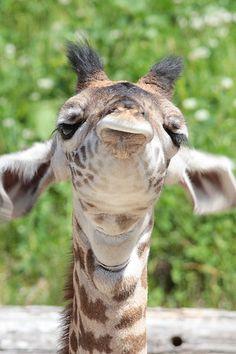Three Week Old Masai Giraffe by Mark Dumont