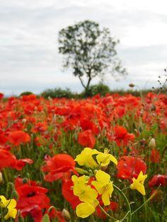 @EttingerLondon #mycolourofsummer red poppy yellow poppy red poppy yellow poppy