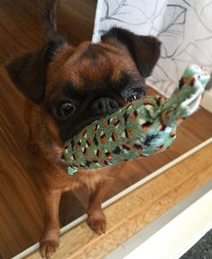 Griffon Bruxellois, Brussels Griffon, Types Of Dogs, All Things Cute, Habitats, Doggies, Cute Pictures, French Bulldog, Funny Animals