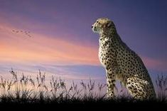 Photo about African safari concept image of cheetah looking out over savannah with beautiful sunset sky. Image of whiskers, animal, cheetah - 20171743 Cheetah Wallpaper, Tier Wallpaper, Animal Wallpaper, Animals Of The World, Animals And Pets, Cute Animals, Wild Animals, Funny Animals, Background Images Wallpapers