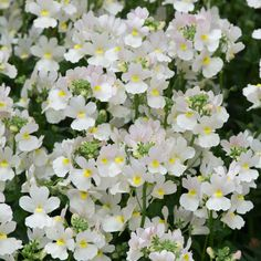 Brookside Nursery sell mail order plug plants, bedding plants, basket plants, perennials and vegetable plants direct from our nurseries in Tamworth. Colorful Flowers, White Flowers, Beautiful Flowers, Gardenias, Nemesia Flowers, Vanilla Plant, Tamworth, Contemporary Cottage, Plants Online