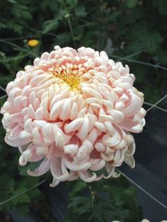 Chrysanthemum 'Leading Lady' (Late)