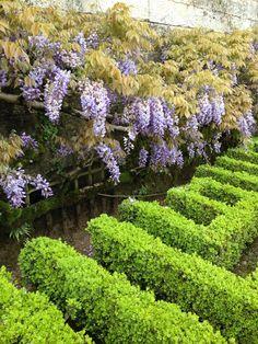 Wisteria hedge