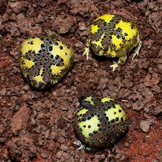 Crucifix Toads -- they look like Gingerbread Man Toads to me.