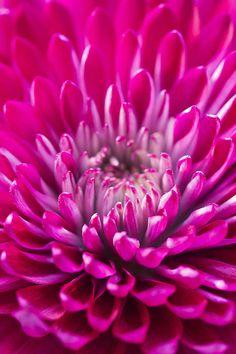 Title: Deep Pink Chrysanthemum Artist: Daphne Sampson Medium: Photograph - Photography