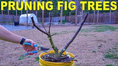 Pruning Fig Trees Perfectly For Fig Cuttings [COMPLETE GUIDE] - YouTube Tree Pruning, Soil Improvement, Grow Organic, Fig Tree, Cuttings, Garden Trees, Grow Your Own, Fruit Trees, Grow Food
