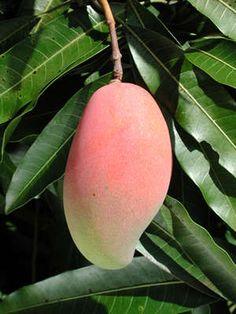 Muy pocos lo conocen, pues lo ven solo como un arbol frutal, pero el mangó es un arbol medicinal y muy necesario. Del mangó se puede utilizar casi todas sus partes, en especial, el fruto del mangó,...