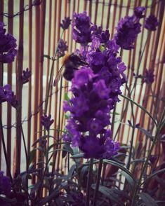 "Une Fleur-floral design by V.G on Instagram: ""When #bumblebee 🐝 visits your garden for lavender nectar ✨🙏🏻🌿🌞 #growflowers #savebees #bumblebee #lavender #nectar #nature #bond #flowers…"" Growing Flowers, Bond, Nature Photography, Floral Design, Lavender, Garden, Plants, Instagram, Garten"