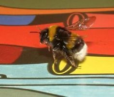 Bees see the world almost five times faster than humans, according to new research. This gives bumblebees the fastest color vision of all animals, allowing them to easily navigate shady bushes to find food.