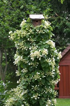 climbing hydrangea for a bird house pole. Lovely! (can I live there?)