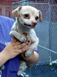 SUPER URGENT 1/8/15 Manhattan Center PARKER - A1024969 MALE, TAN, CHIHUAHUA SH MIX, 8 yrs STRAY - STRAY WAIT, NO HOLD Reason STRAY Intake condition GERIATRIC Intake Date 01/07/2015, From NY 10468, DueOut Date 01/10/2015, https://www.facebook.com/photo.php?fbid=942393649106848