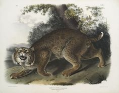 "humanoidhistory: "" ""Lynx rufus, Common American Wild Cat."" 1840s illustration by John Woodhouse Audubon. Courtesy of the New York Public Library. """