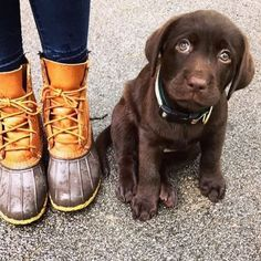 Awww. (Photo via Instagram: pupperthegreat) L.L.Bean Boots Cute Puppies, Cute Dogs, Dogs And Puppies, Doggies, Chocolate Lab Puppies, Whiskers On Kittens, Bean Boots, Ll Bean, Mans Best Friend