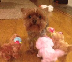 haha I love yorkies, but mine would be playing with the toys like they where puppies!