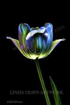 tulip photography