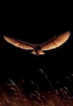 Owl in flight - Chouette en vol Beautiful Owl, Animals Beautiful, Cute Animals, B&w Tumblr, Fotografia Macro, Wise Owl, Tier Fotos, Foto Art, Birds Of Prey