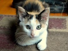 Autumn is an adoptable Domestic Short Hair Cat in Charlotte, NC. I'm a gorgeous, sweet, very friendly girl ready for a permanent home! I purr loudly when content, am good about being picked up/held, l...