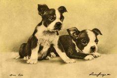 1915 Boston Terrier puppies
