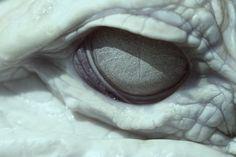 Albino Gator Eye Wallpaper by on deviantART Vaporwave, Reptiles, Lizards, Sublime Creature, Arte Grunge, Eyes Wallpaper, The Ancient Magus Bride, Spirited Away, Albino