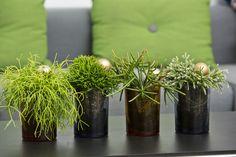 Rhipsalis family - type of epiphytic cacti