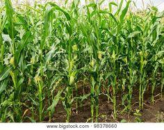 Image of Corn Field Corn Cob Selective Focus