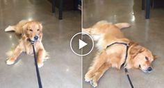 Teimoso Golden Retriever Recusa-se a Sair De Loja De Animais http://www.funco.biz/teimoso-golden-retriever-recusa-sair-loja-animais/