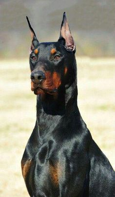 The Doberman Pinscher is among the most popular breed of dogs in the world. Known for its intelligence and loyalty, the Pinscher is both a police- favorite Black Doberman, Doberman Love, I Love Dogs, Cute Dogs, Black And Tan Terrier, Merle Chihuahua, Doberman Pinscher Dog, Doberman Puppies, Corgi Puppies