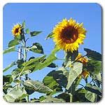 Organic Mammoth Sunflower (We grew these in 2013 and they were awesome!)