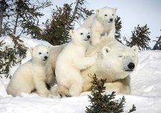 Polar Bear もっと見る