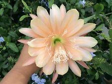 Peach Magic  Epiphyllum Orchid Cactus Cutting