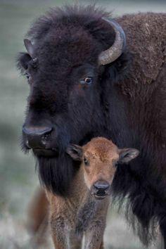 Mutter und Baby Buffalo - animals - - New Ideas Buffalo Animal, Baby Buffalo, Buffalo Art, Farm Animals, Animals And Pets, Cute Animals, Strange Animals, Beautiful Creatures, Animals Beautiful