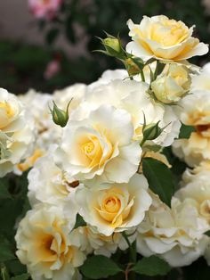 Roses are yellow....via Pepe's photo on Google+