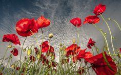 poppy wallpaper | poppy wallpaper - Part 7