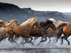A heard of Icelandic horses gallop across Lake Hóp in northern Iceland. (Photo by Tina Thuell, Your Shot) http://on.natgeo.com/WHcxos  National Geographic