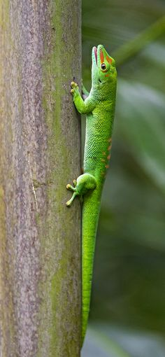 A green day gecko in the Masoala hall of the Zürich zoo. Chameleons, Geckos, Reptiles And Amphibians, Animals Of The World, Snakes, Frogs, Terrarium, Dragons, Turtle