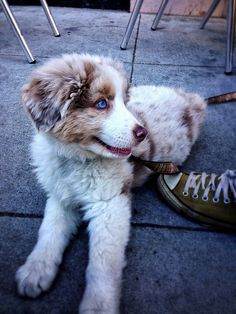 Australian Shepherd Puppy | Flickr - Photo Sharing!