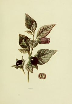 Belladone - atropa belladonna - fruits sauvages campagne
