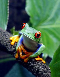 De nouveaux amis.... Red Eyed Tree Frog