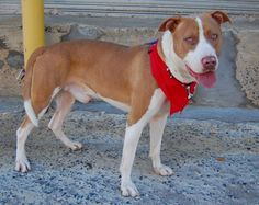 Brooklyn Center TEBO – A1089756 MALE, BROWN / WHITE, PIT BULL MIX, 1 yr STRAY – STRAY WAIT, HOLD FOR RTO Reason STRAY Intake condition UNSPECIFIE Intake Date 09/14/2016, From NY 11691, DueOut Date 09/18/2016,