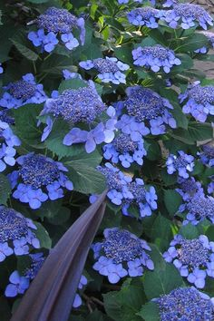 Stunningly beautiful and a sight to behold in full bloom, the Bluebird Hydrangea produces LOADS of some of the most beautiful flowers we've ever seen on. Most Beautiful Flowers, Love Flowers, Beautiful Gardens, Stunningly Beautiful, Hydrangea Quercifolia, Window Box Flowers, Heirloom Roses, Hydrangea Garden, Flower Landscape