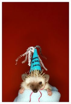 Hedgehogs also appreciate being dressed up for their birthdays. | How To Dress A Hedgehog For Halloween