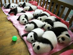 Pandas napping.  The giant panda cubs lie in a crib at Chengdu Research Base of Giant Panda Breeding in Chengdu, Sichuan province on Sept. 26, 2011  (click for more photos)