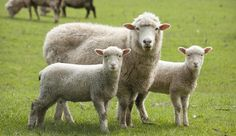 Find Sheep Lambs stock images in HD and millions of other royalty-free stock photos, illustrations and vectors in the Shutterstock collection. Thousands of new, high-quality pictures added every day. Robert Walser, Bactrian Camel, Musk Ox, Sheep Breeds, Angora Rabbit, Sheep And Lamb, Types Of Animals, Downy, Sheep Wool
