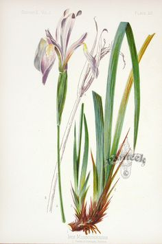 Meehan Botanical Prints from the Native Flowers and Ferns of the United States 1879 Rocky Mountain Iris