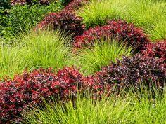 462018 - Autumn moor grass (Sesleria autumnalis) and purple leaf barberry (Berberis thunbergii 'Atropurpurea')