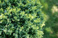 Choosing Companion Plants for Your Boxwood   DoItYourself.com